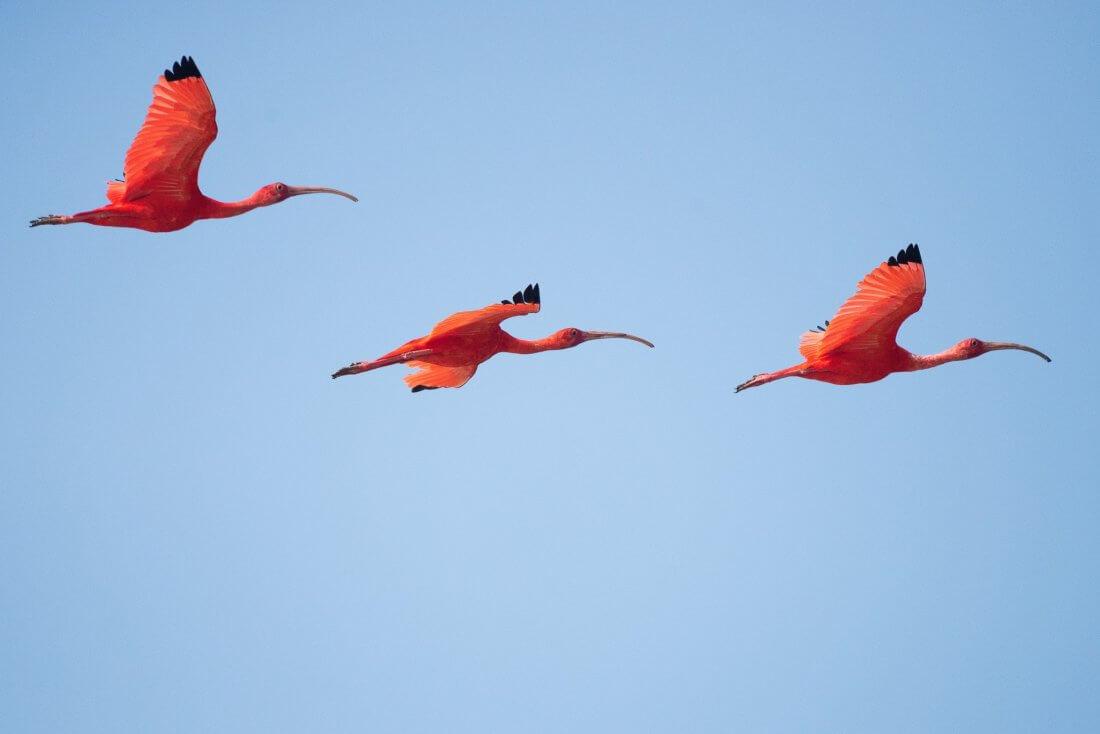 red birds flying