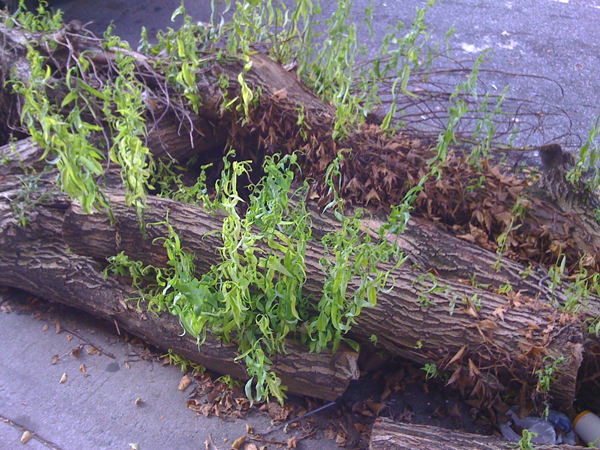 willow_trying_to_regrow