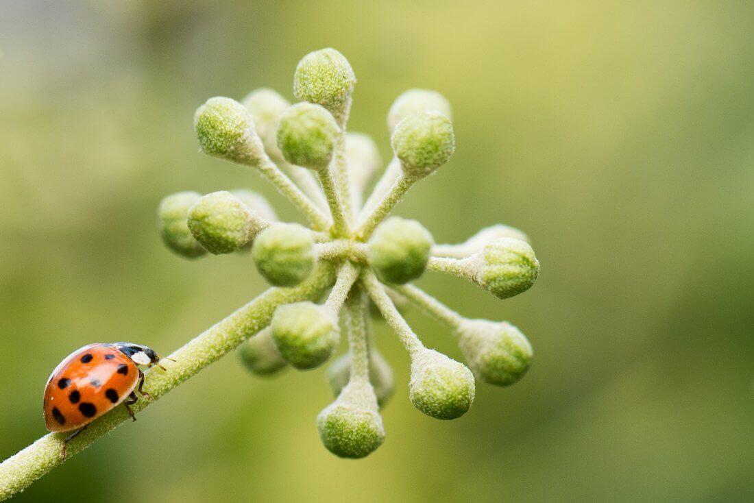 ladybug on stem
