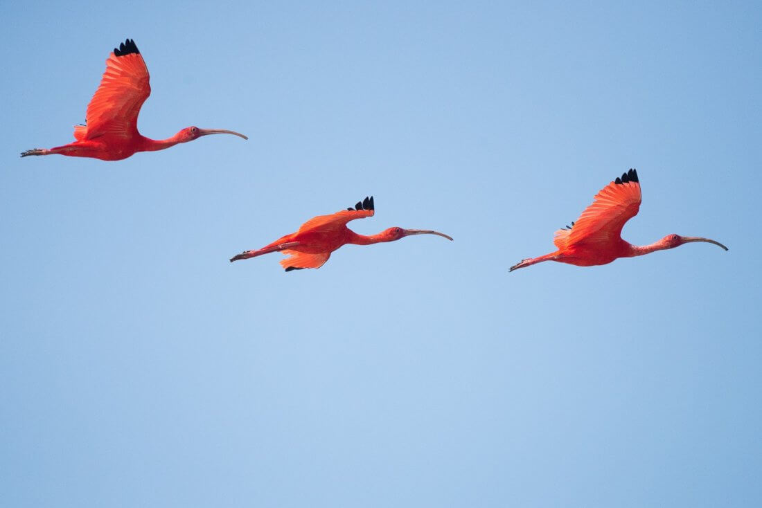 red birds flying